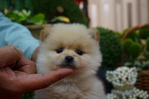 ポメラニアンの子犬(ID:1231011359)の2枚目の写真/更新日:2018-03-06