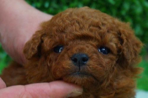 トイプードルの子犬(ID:1231011360)の1枚目の写真/更新日:2018-03-20