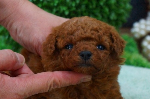 トイプードルの子犬(ID:1231011360)の2枚目の写真/更新日:2018-03-20