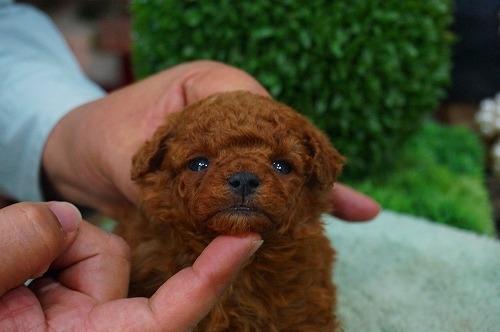 トイプードルの子犬(ID:1231011360)の3枚目の写真/更新日:2018-03-20