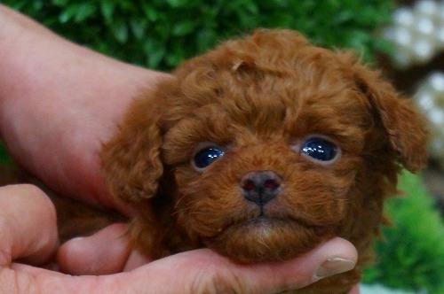 トイプードルの子犬(ID:1231011361)の1枚目の写真/更新日:2018-03-20