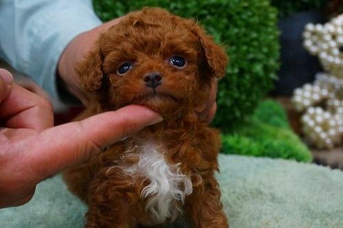 トイプードルの子犬(ID:1231011361)の2枚目の写真/更新日:2018-03-20