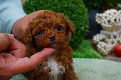 トイプードルの子犬(ID:1231011361)の3枚目の写真/更新日:2018-03-20