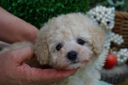 トイプードルの子犬(ID:1231011362)の1枚目の写真/更新日:2018-03-20