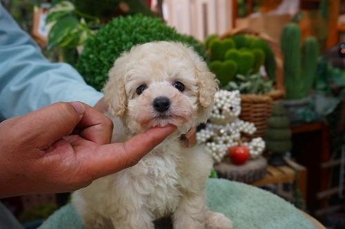 トイプードルの子犬(ID:1231011362)の2枚目の写真/更新日:2018-03-20