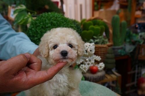 トイプードルの子犬(ID:1231011362)の3枚目の写真/更新日:2018-03-20