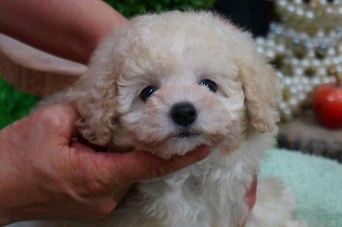 トイプードルの子犬(ID:1231011362)の4枚目の写真/更新日:2018-03-29