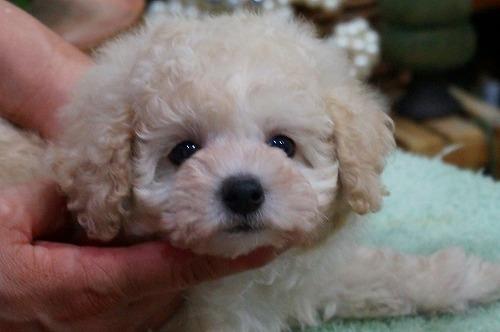 トイプードルの子犬(ID:1231011362)の5枚目の写真/更新日:2018-03-29