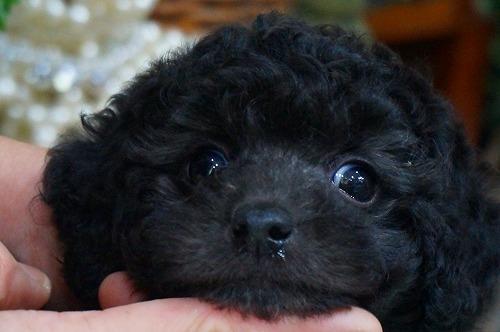 トイプードルの子犬(ID:1231011363)の1枚目の写真/更新日:2018-03-21