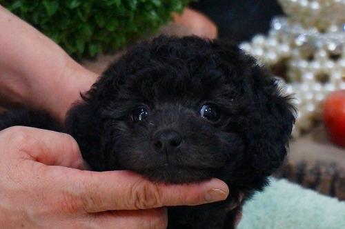 トイプードルの子犬(ID:1231011363)の2枚目の写真/更新日:2018-03-21