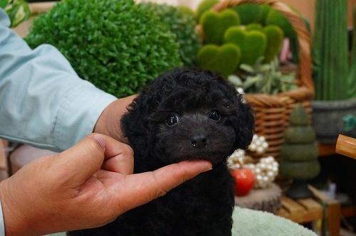 トイプードルの子犬(ID:1231011363)の3枚目の写真/更新日:2018-03-21