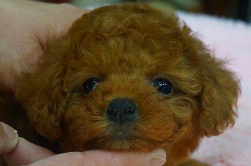 トイプードルの子犬(ID:1231011364)の1枚目の写真/更新日:2018-04-05