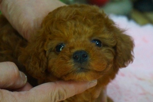 トイプードルの子犬(ID:1231011364)の2枚目の写真/更新日:2018-04-05