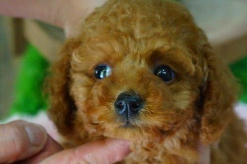トイプードルの子犬(ID:1231011365)の1枚目の写真/更新日:2018-04-16