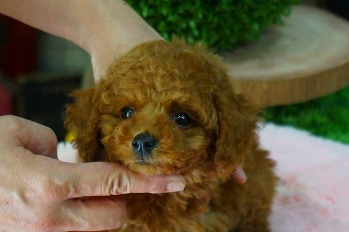 トイプードルの子犬(ID:1231011365)の3枚目の写真/更新日:2018-04-16