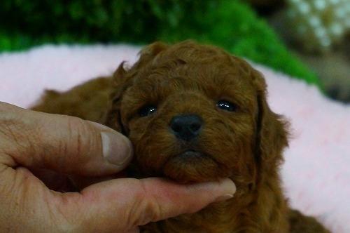 トイプードルの子犬(ID:1231011368)の2枚目の写真/更新日:2018-04-24