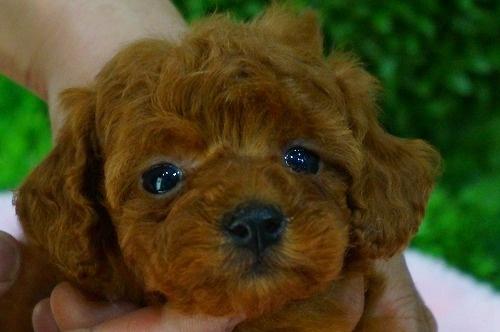 トイプードルの子犬(ID:1231011369)の1枚目の写真/更新日:2018-05-08