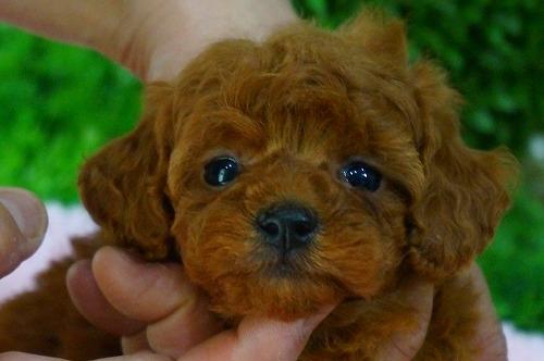 トイプードルの子犬(ID:1231011369)の2枚目の写真/更新日:2018-05-08