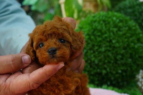 トイプードルの子犬(ID:1231011369)の3枚目の写真/更新日:2018-05-08