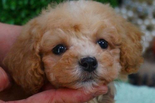 トイプードルの子犬(ID:1231011370)の1枚目の写真/更新日:2018-06-05