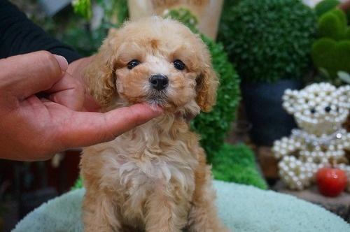トイプードルの子犬(ID:1231011370)の2枚目の写真/更新日:2018-06-05