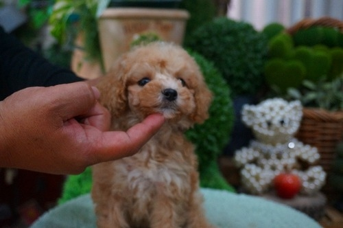 トイプードルの子犬(ID:1231011370)の3枚目の写真/更新日:2018-06-05
