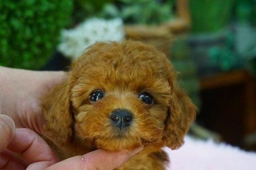 トイプードルの子犬(ID:1231011371)の1枚目の写真/更新日:2018-05-23
