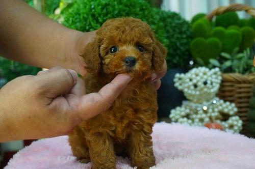 トイプードルの子犬(ID:1231011371)の3枚目の写真/更新日:2018-05-23