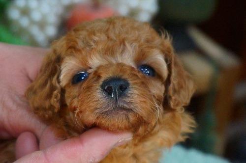 トイプードルの子犬(ID:1231011372)の1枚目の写真/更新日:2018-05-29