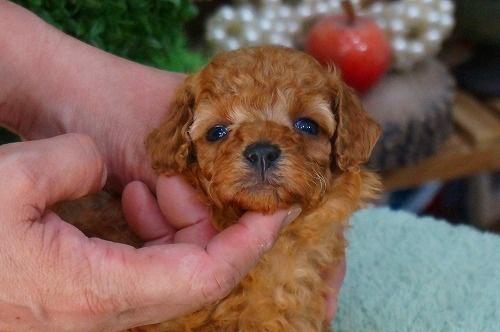 トイプードルの子犬(ID:1231011372)の2枚目の写真/更新日:2018-05-29