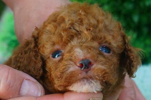 トイプードルの子犬(ID:1231011373)の1枚目の写真/更新日:2018-05-29