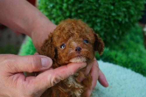 トイプードルの子犬(ID:1231011373)の3枚目の写真/更新日:2018-05-29