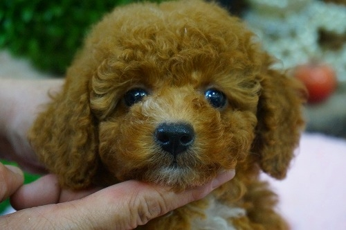 トイプードルの子犬(ID:1231011374)の1枚目の写真/更新日:2018-06-05