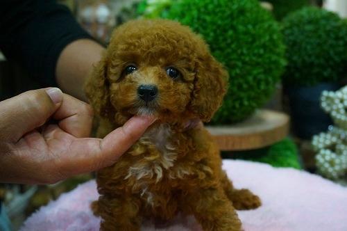 トイプードルの子犬(ID:1231011374)の2枚目の写真/更新日:2018-06-20