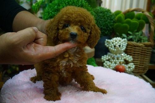 トイプードルの子犬(ID:1231011374)の3枚目の写真/更新日:2018-06-20