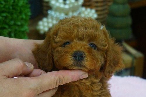 トイプードルの子犬(ID:1231011375)の1枚目の写真/更新日:2018-06-05