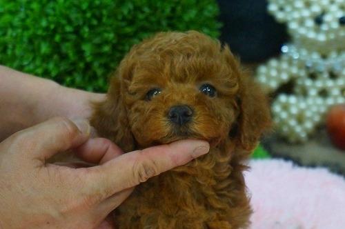 トイプードルの子犬(ID:1231011375)の2枚目の写真/更新日:2018-06-05