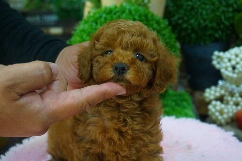 トイプードルの子犬(ID:1231011375)の3枚目の写真/更新日:2018-06-05