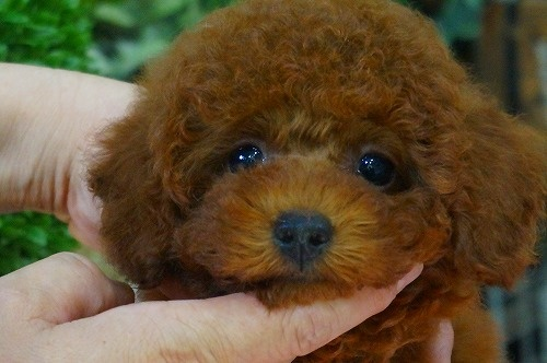 トイプードルの子犬(ID:1231011376)の1枚目の写真/更新日:2018-06-26