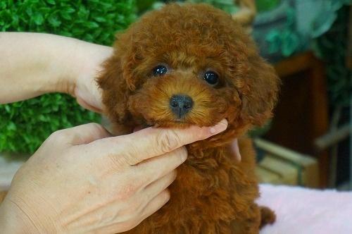 トイプードルの子犬(ID:1231011376)の2枚目の写真/更新日:2018-06-12
