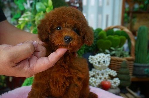 トイプードルの子犬(ID:1231011376)の3枚目の写真/更新日:2018-06-26