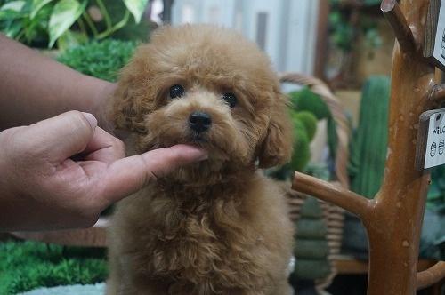 トイプードルの子犬(ID:1231011377)の2枚目の写真/更新日:2018-07-31