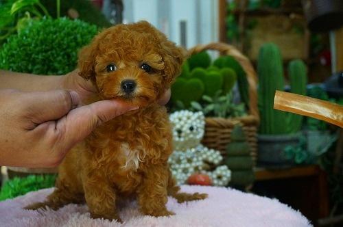 トイプードルの子犬(ID:1231011378)の3枚目の写真/更新日:2018-07-18