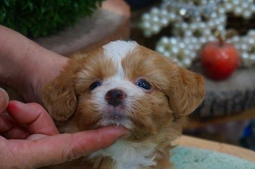 ミックスの子犬(ID:1231011379)の1枚目の写真/更新日:2018-07-05