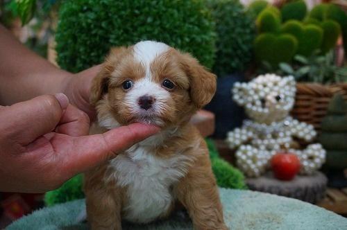 ミックスの子犬(ID:1231011379)の2枚目の写真/更新日:2018-07-05