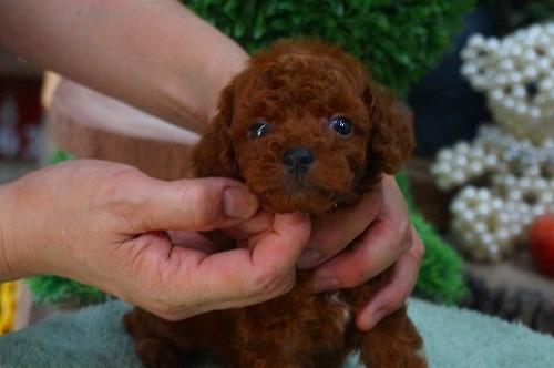 トイプードルの子犬(ID:1231011380)の1枚目の写真/更新日:2018-07-04