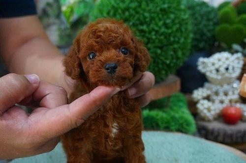 トイプードルの子犬(ID:1231011380)の2枚目の写真/更新日:2018-07-04