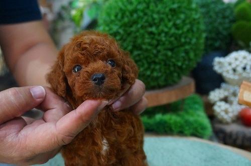 トイプードルの子犬(ID:1231011380)の3枚目の写真/更新日:2018-07-04