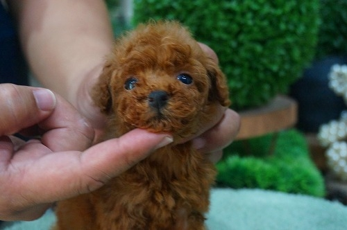 トイプードルの子犬(ID:1231011381)の1枚目の写真/更新日:2018-07-04