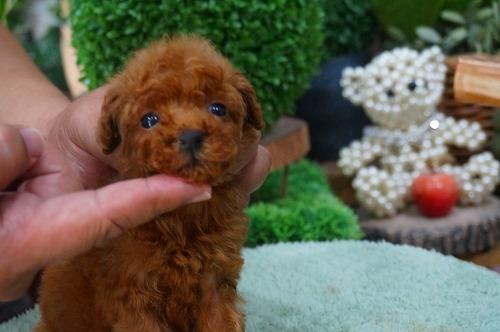トイプードルの子犬(ID:1231011381)の2枚目の写真/更新日:2018-07-04